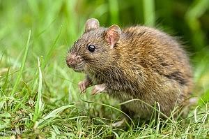 Vilius Paškevičius: Pilkoji žiurkė