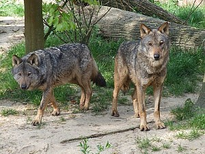 Iberijos vilkas
