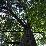 Galiūnas ąžuolas augantis šalia Žuvintės. Autorė G. Aleksandravičiūtė