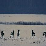 Krekenavos apylinkės įtinka kanopiniams. Ovidiu Banea nuotrauka.