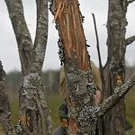 Dovilės Selickaitės nuotrauka. Briedžio apgraužta obelis