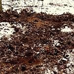 Giedrė Aleksandravičiūtė. Šernai ruošia dirvą naujam miškui