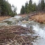 Renatas upelis, kuriame bebrai laiko maisto atsargas