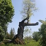Sandariškių ąžuolas.Nuotraukos autorė Dovilė Selickaitė