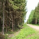 Tadas Petrikas. Biržų girioje keliukai tiesūs, gerokai iškelti virš miško paklotės