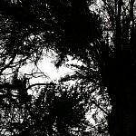 Tadas Petrikas. Medžių lajos