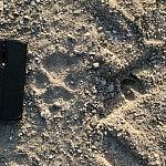 Vilko pėdos. Nuotraukos autorius Tadas Petrikas