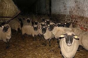 Avys - vilko mėgstamas grobis