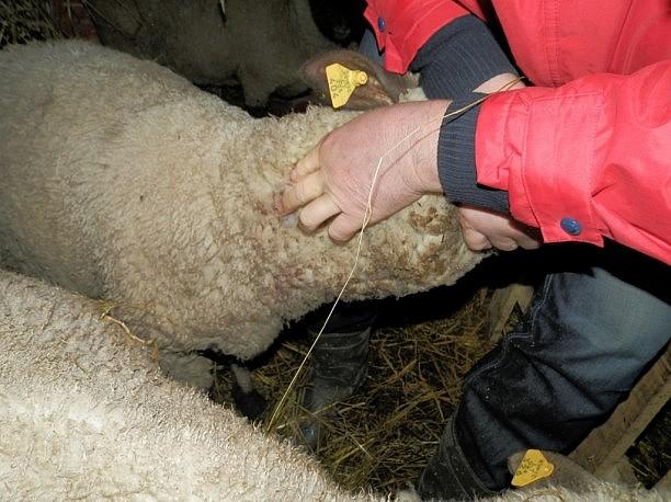 """Plėšrūno sužeista avis. J. Milišiūnas apgaleistavo, kad viena iš sužeistų avių nudvėsė. Bet kitos suleidus vaistų atsigavo. Ūkininkas džiaugiasi, jog šios jau pradeda ėsti (GAA """"Baltijos vilkas"""" nuotr.)"""