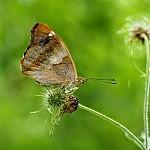 Vilkų miško drugelis