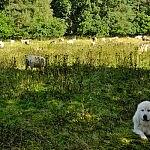 Podhalės aviganis ir jo šeimyna - avys bei ožkos.