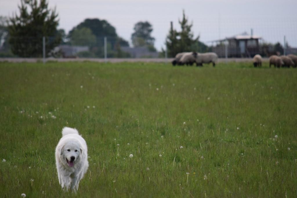 """Aptvaras ir Podhalės aviganis ūkininko Evaldo ūkyje. """"Saugi avis"""" archyvo nuotrauka."""