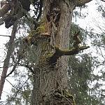 Dovilė Selickaitė. Drėvėtas ąžuolas