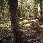 Medis, į kurį šernai trinasi šonus.