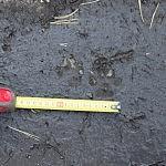 Naminio šuns pėdsakas. Nuotraukos autorius Tomas Selickas