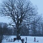 Nuotraukos autorius T.Selickas Adamavo ąžuolas