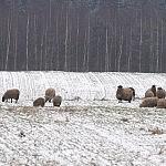 Avys pamiškėje be jokios priežiūros.