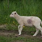 Nukentėjęs ėriukas