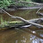 Vandenyje įstrigę medžiai nuolatos žaliuoja. Nuotraukos autorius Bertas Ulozevičius