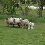 Avių šeimyna
