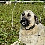 Kangal veislės aviganis - patikimas avių sargas, kilęs iš Turkijos.