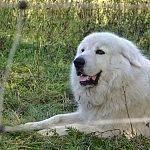 Tai ne geraširdis meškinas, o vilkų priešas Podhalės aviganis.